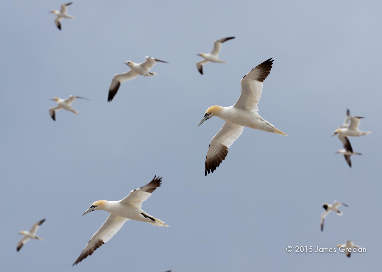 Gannets in flight.jpg