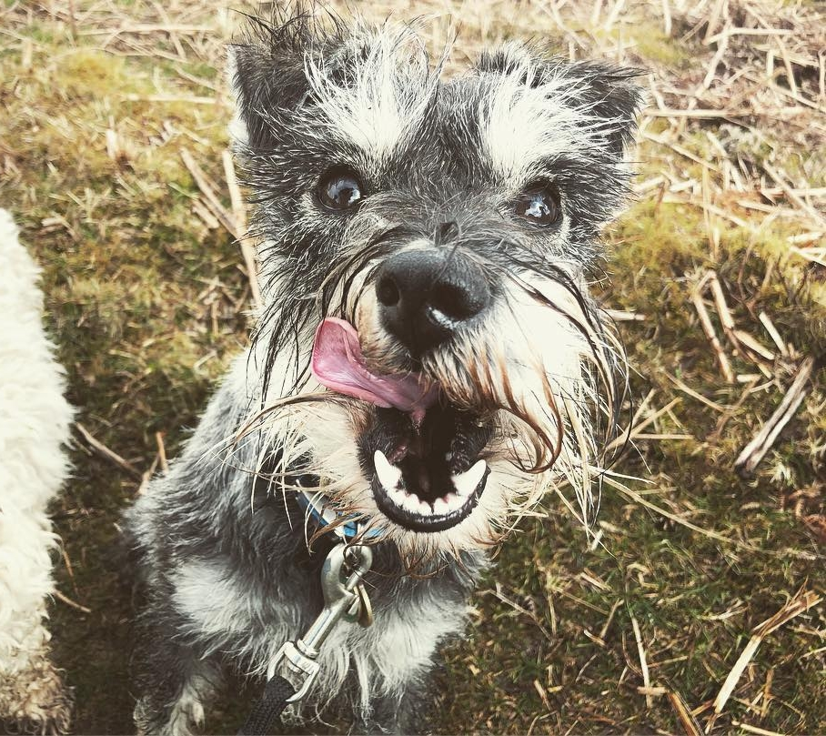 HARLEY - Harley (Our 9 month mini schnauzer) was entering his teenage stage and was becoming more and more unsettled and we were struggling with 'training' him. We found Kima through Instagram and was blown away by her calmness and understanding of the dogs in her care and the way they respected and listened to her.After struggling for the first week's challenge we decided to let Kima take Harley on her forest walks for a few days. He's come back a completely different dog and her knowledge and understanding of him has helped enormously of how we can help him be the amazing dog that he is. He so much calmer and more attentive we still have more weeks of training to go. She provided us with plenty of updates, videos and advice.I urge you to meet this woman and let her understand your dog in a calming gentle way. We can not thank her enough, even the cat seems happier! 😁