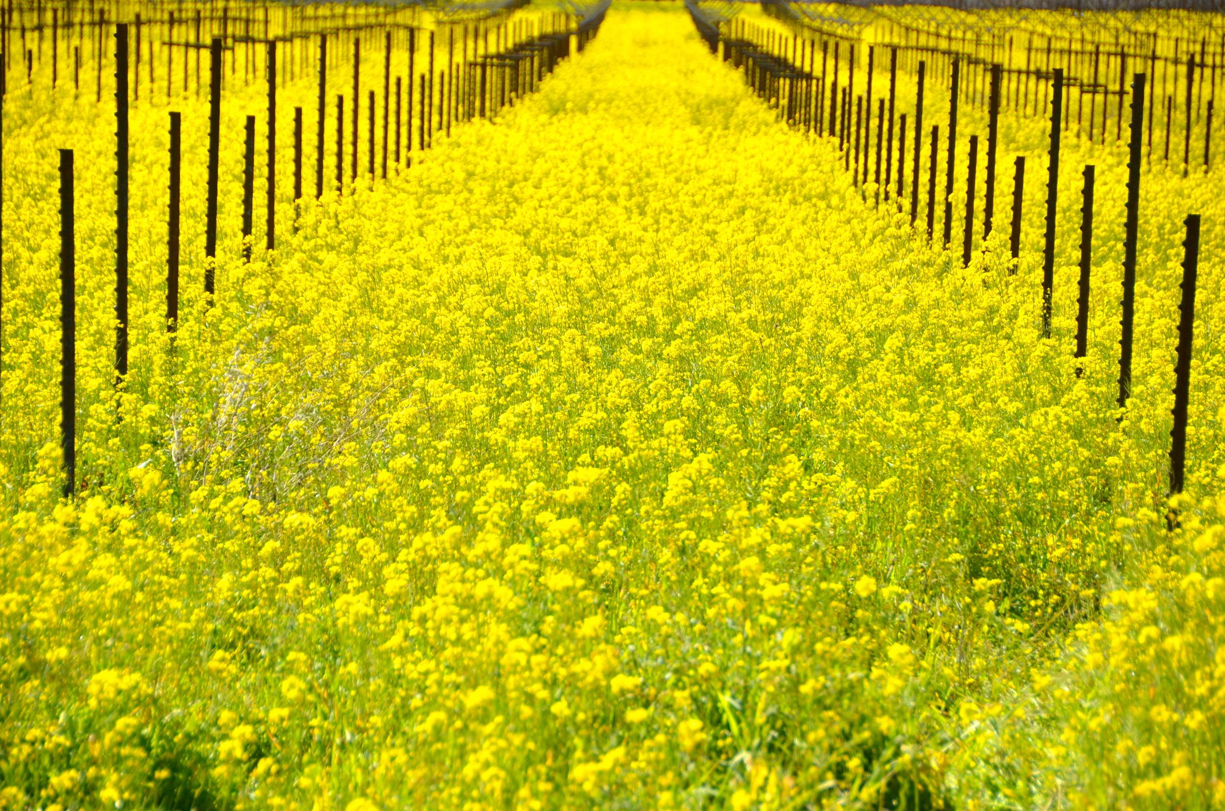mustard-5.jpg