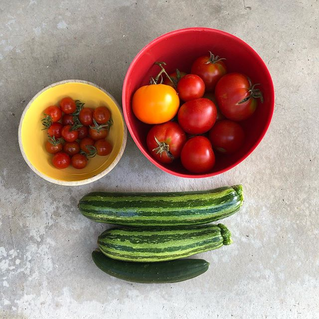 #morningharvest what's growing from our #veggiegarden this season. we are growing 4 kinds of #tomatoes 🍅🍅🍅🍅 and #tigerzucchini 🐅 and #japanesecucumber 🥒#urbanfarming #growyourownfood