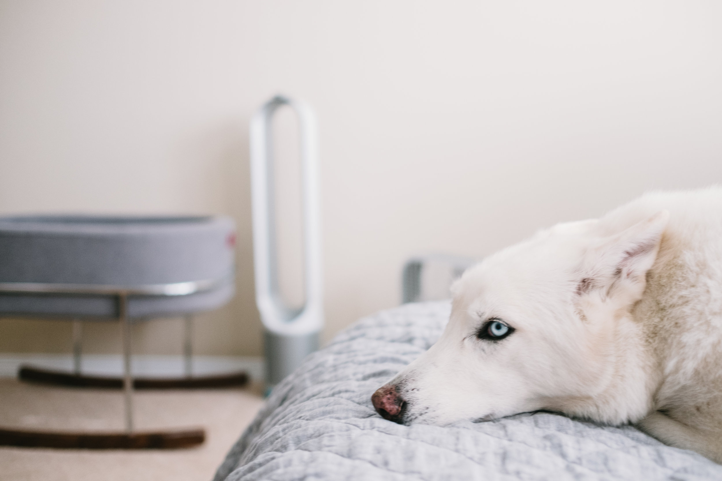 White dog laying on bed