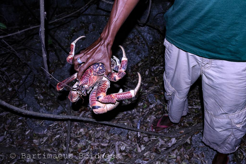 The illustrious Coconut Crab.