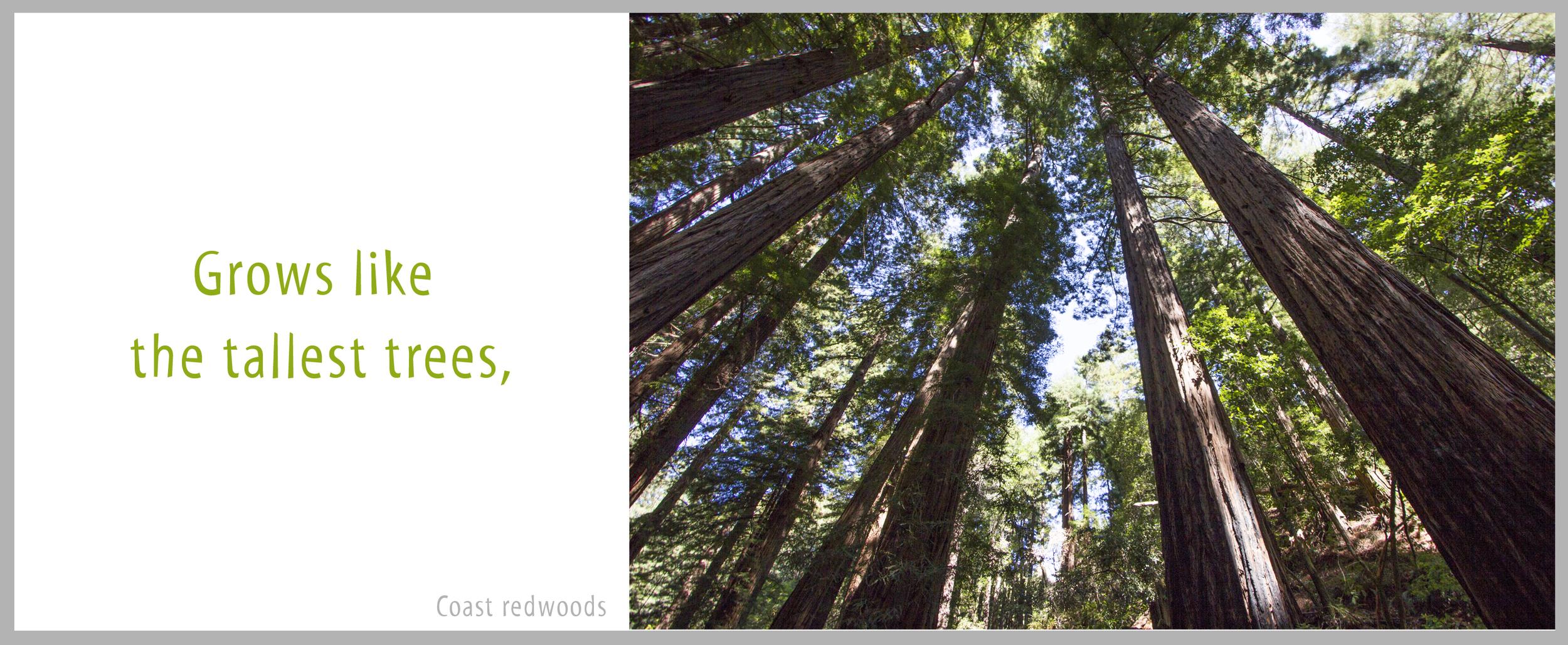 17Redwoods.jpg