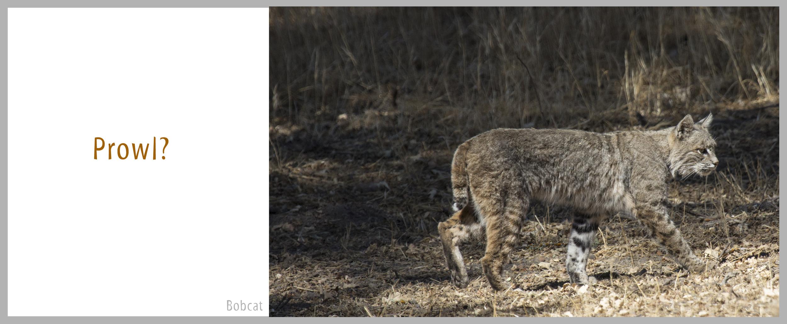 03Bond-6625.Bobcat.jpg