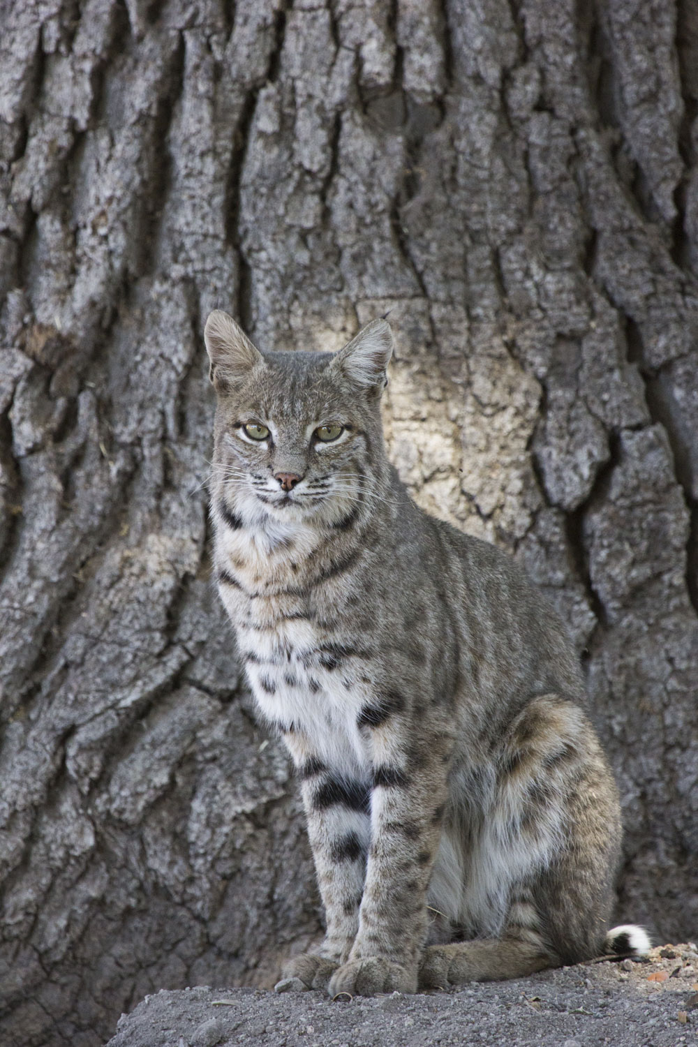 Bobcat, Pinnacles National Park