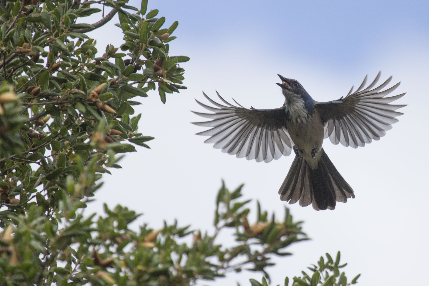 Scrub Jay, Pinnacles National Park
