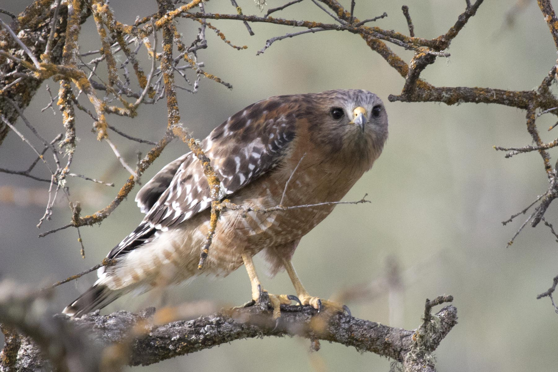 Red-Shouldered Hawk, Pinnacles National Park