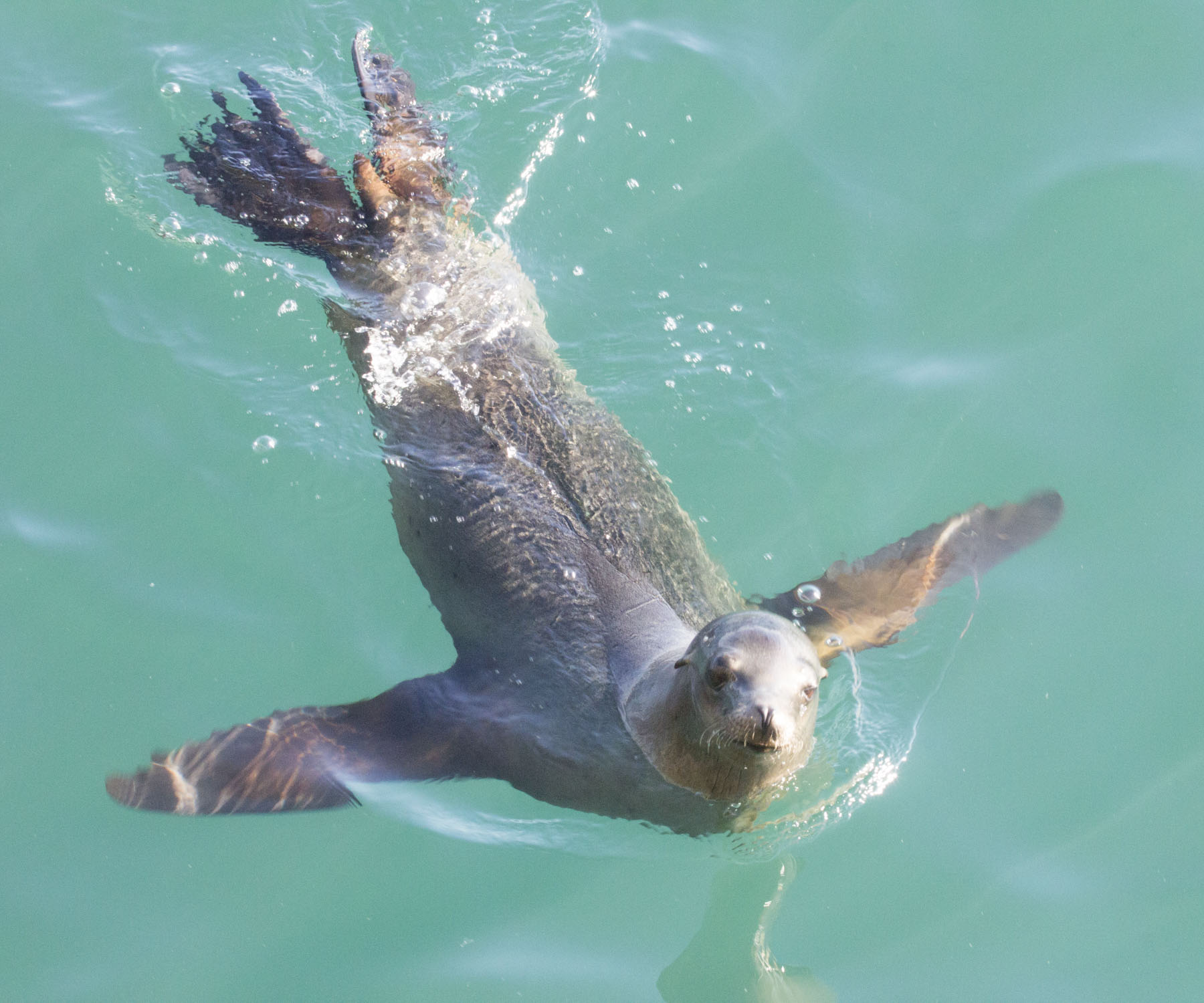 Sea lion: SWIM
