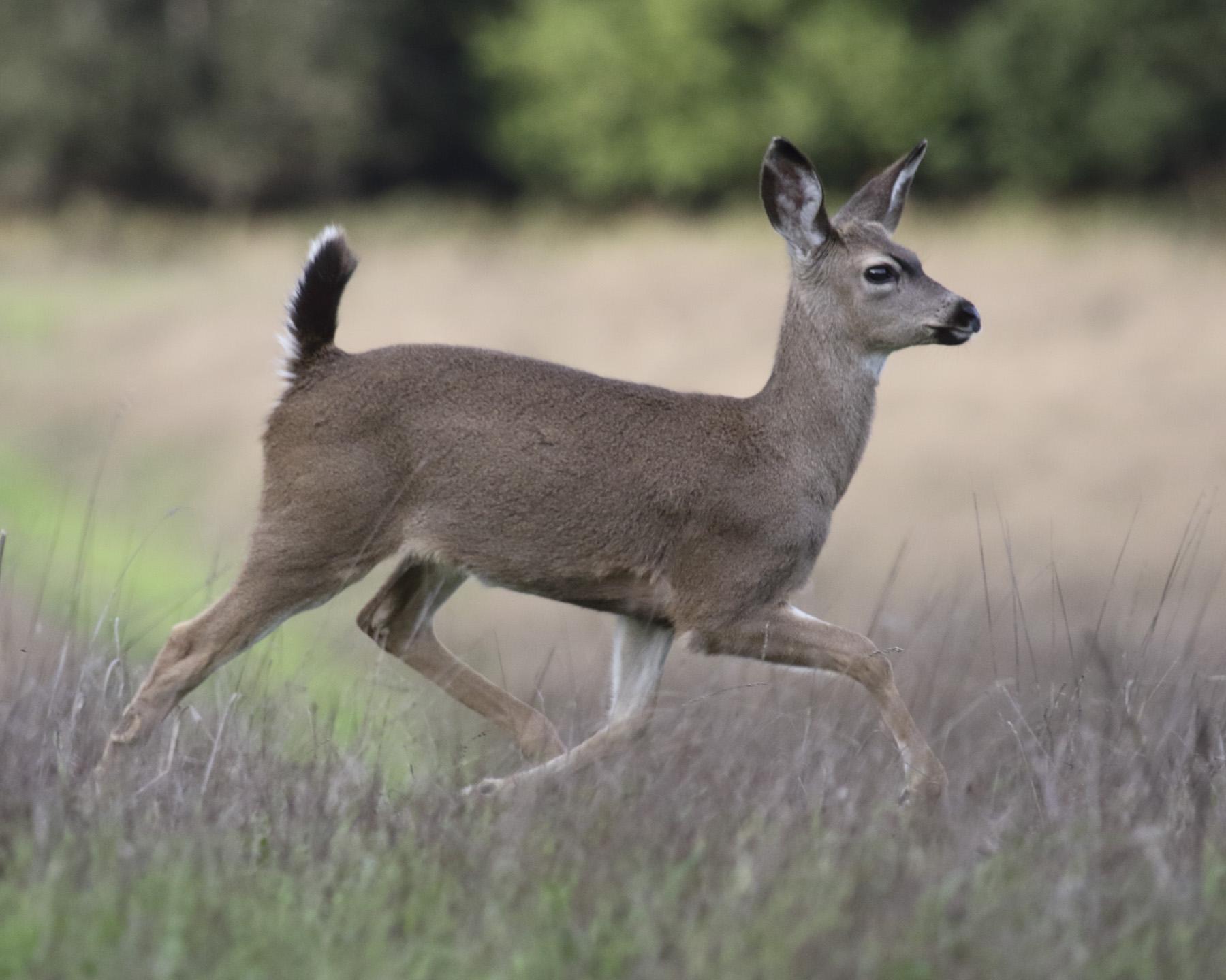 Deer: PRANCE