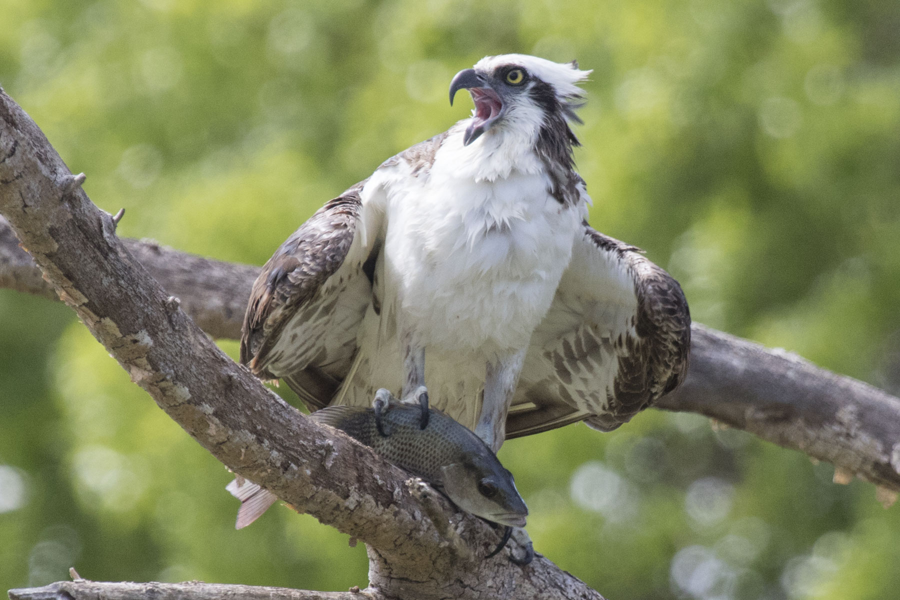 Osprey With Fish, Everglades National Park