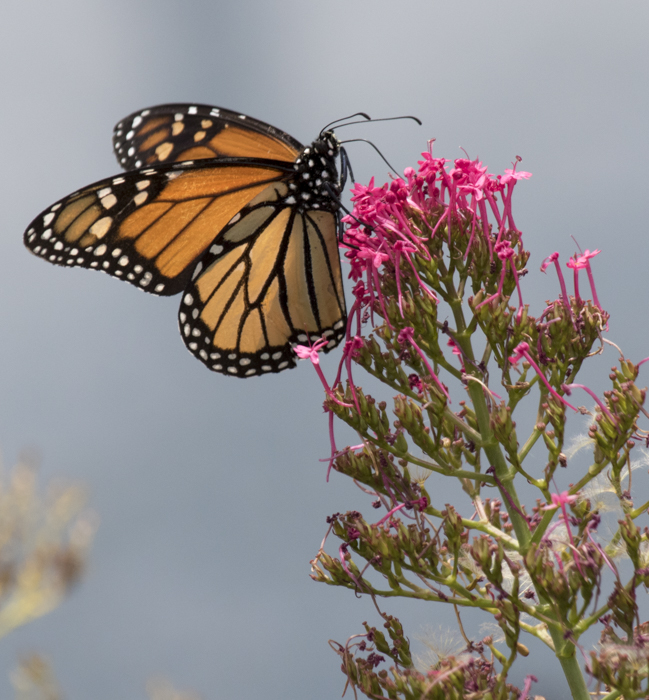 Monarch butterfly. Photo: Elaine Miller Bond