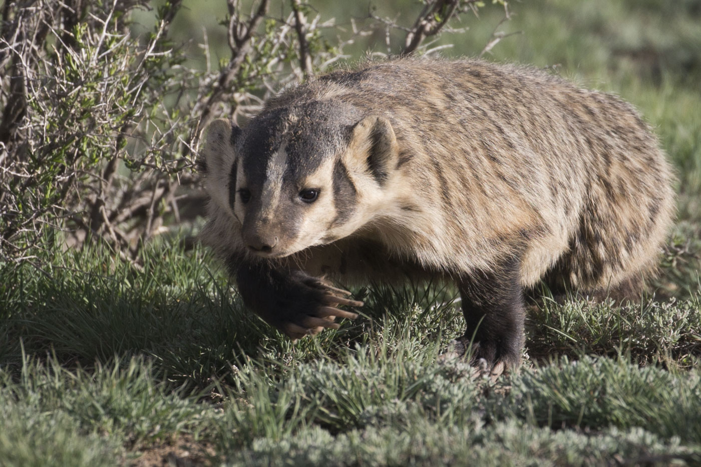Badger, Arapaho National Wildlife Refuge