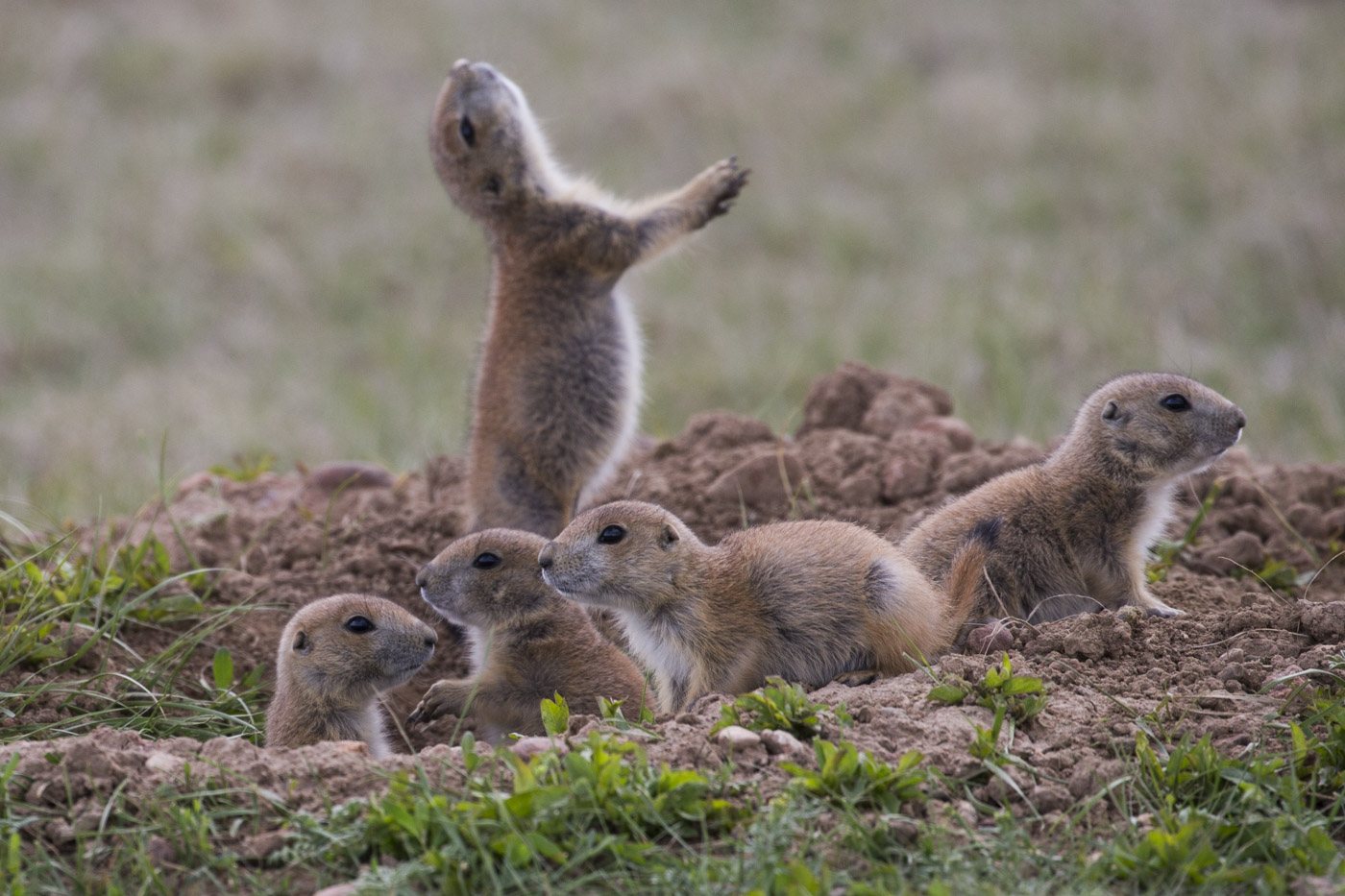 Black-Tailed Prairie Dog Pups, Wind Cave National Park
