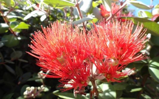 pohutukawa-flower-1338792-1280x960.jpg