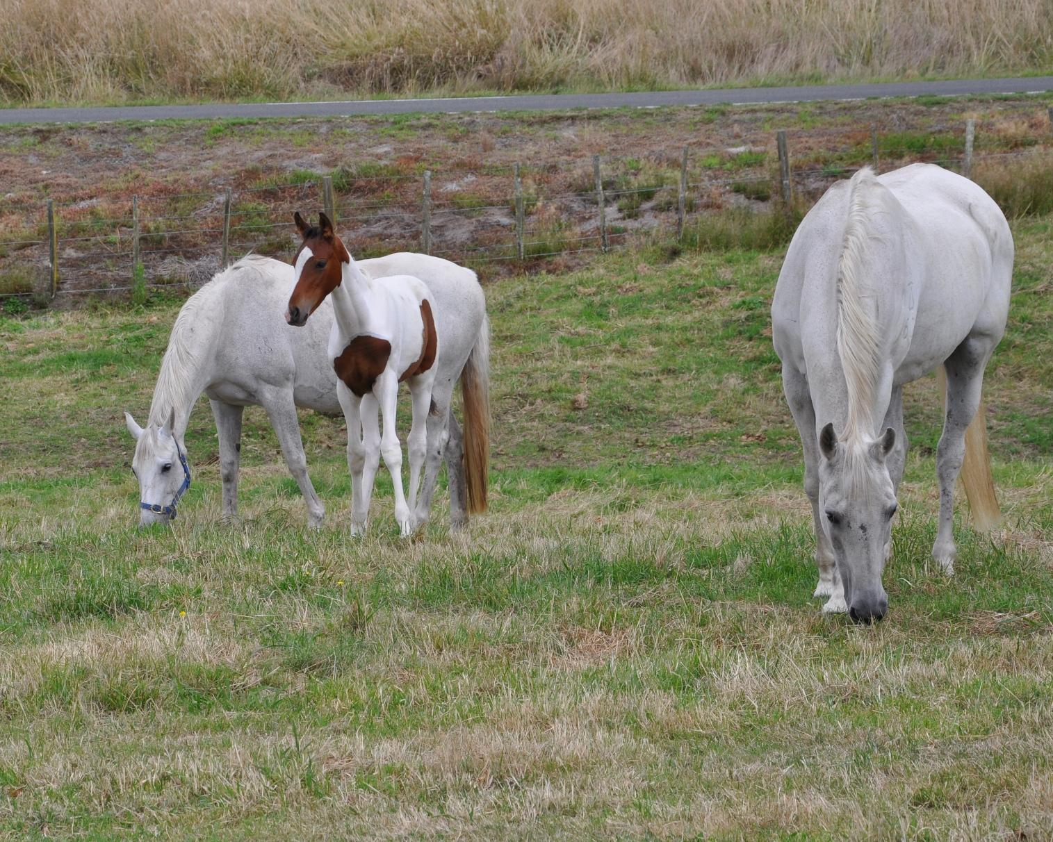 Horses grazing in de la terre's frontpaddock