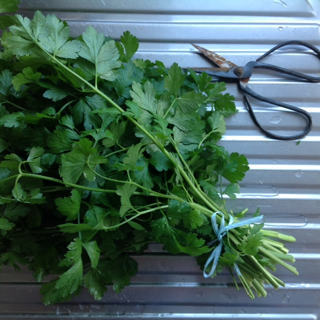 Flat leaf parsley, gifted to the local cafe