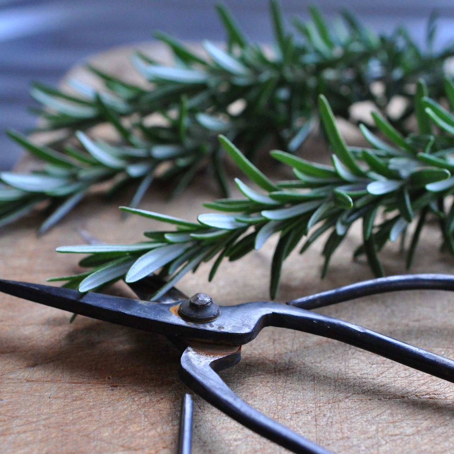 Fresh rosemary from the garden