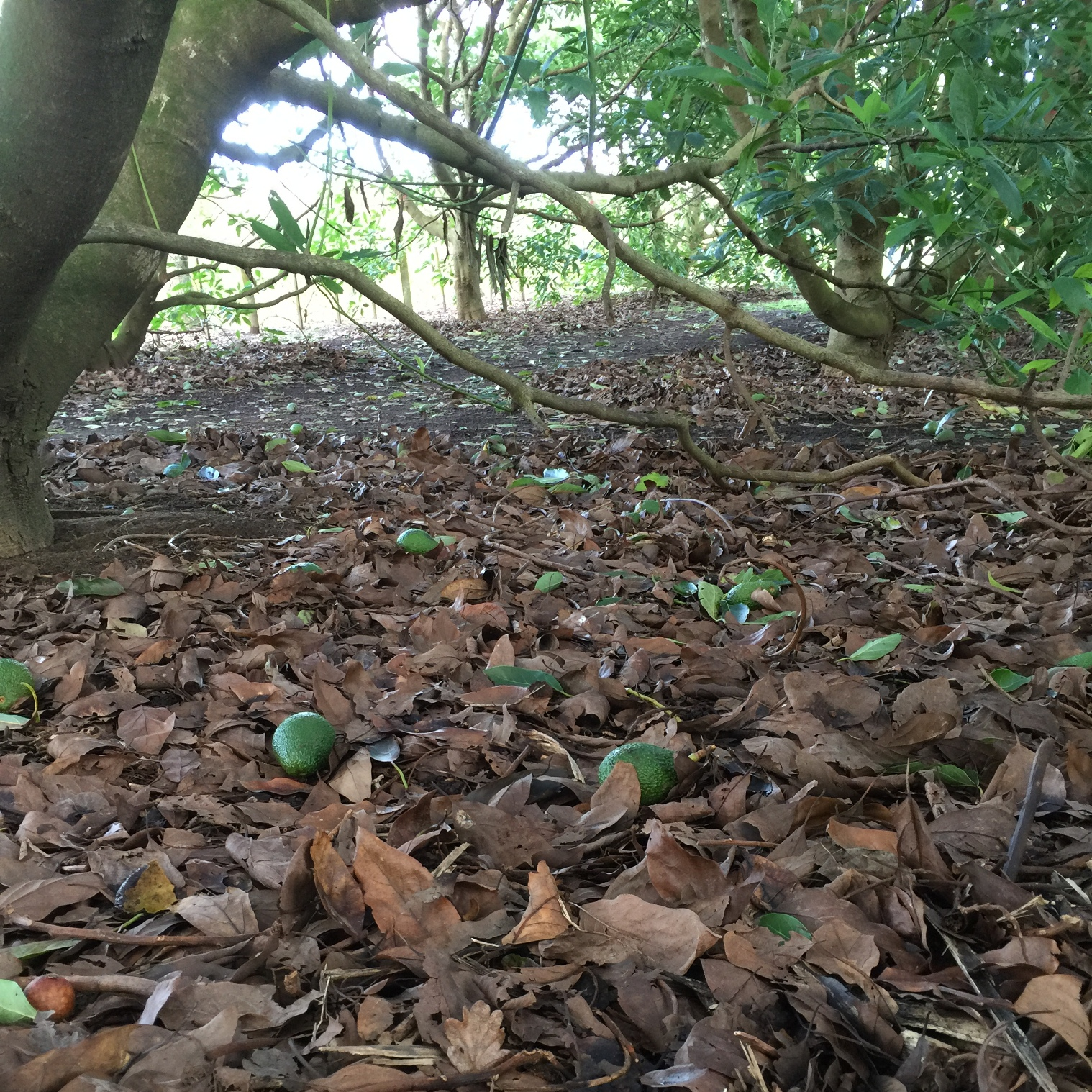 Avocados litter the orchard floor