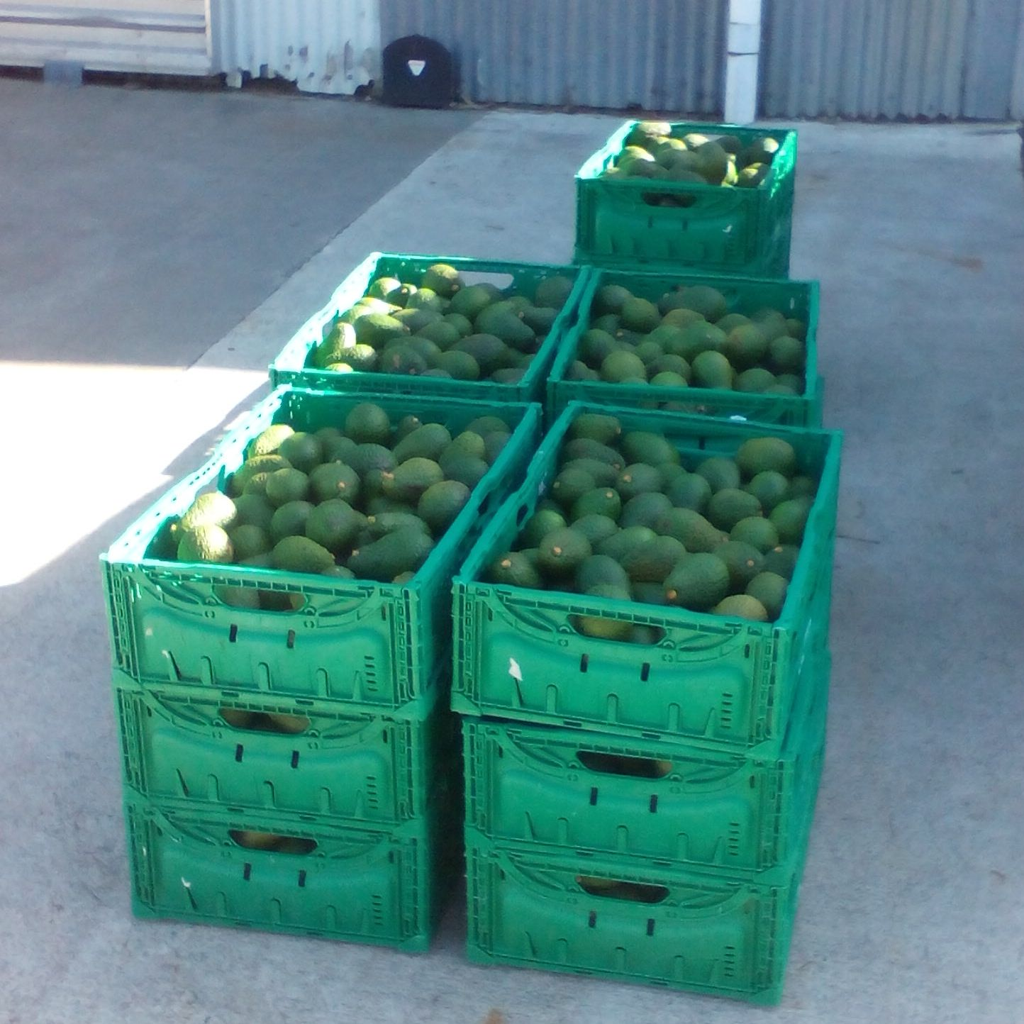 One day's pick - 300kgs avocados