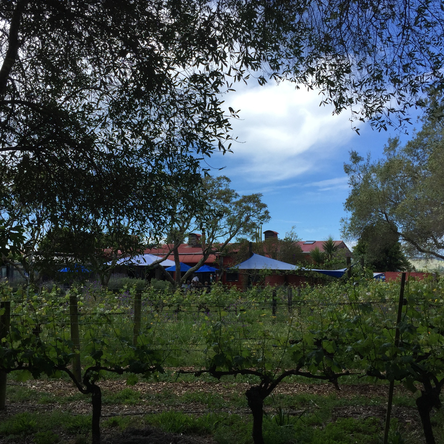 Clearview across the vines.jpg