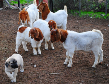 7 week old Anatolian puppy introduced to his new goat family in a small kraal.
