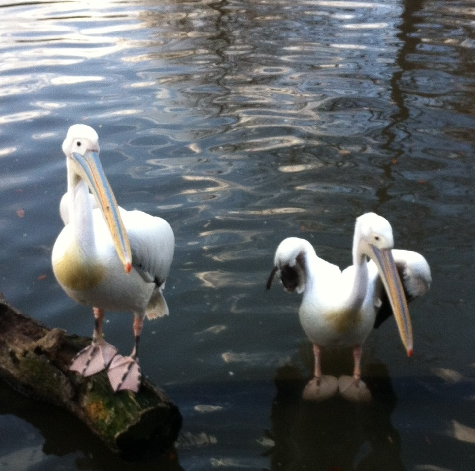 pelicans at audobon park by andy