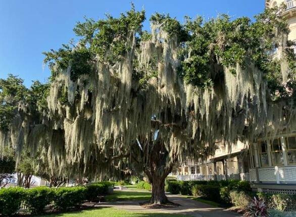 spanish trees.JPG