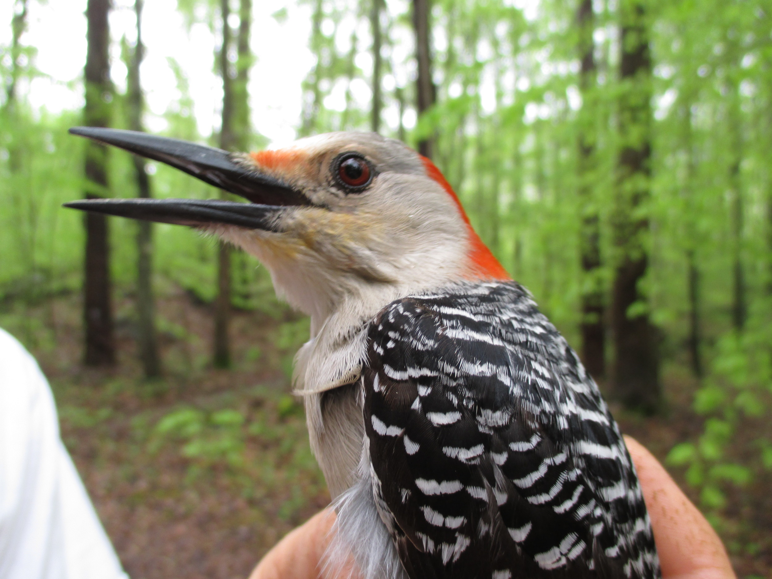 Red-bellied Woodpecker caught and banded in 2015 at the Trust's Bird Observatory.