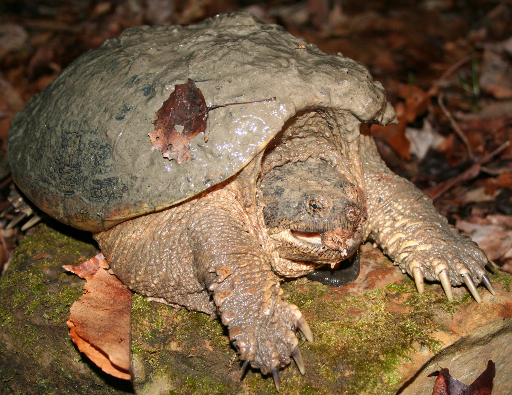 American snapping turtle ( Chelydra serpentina )