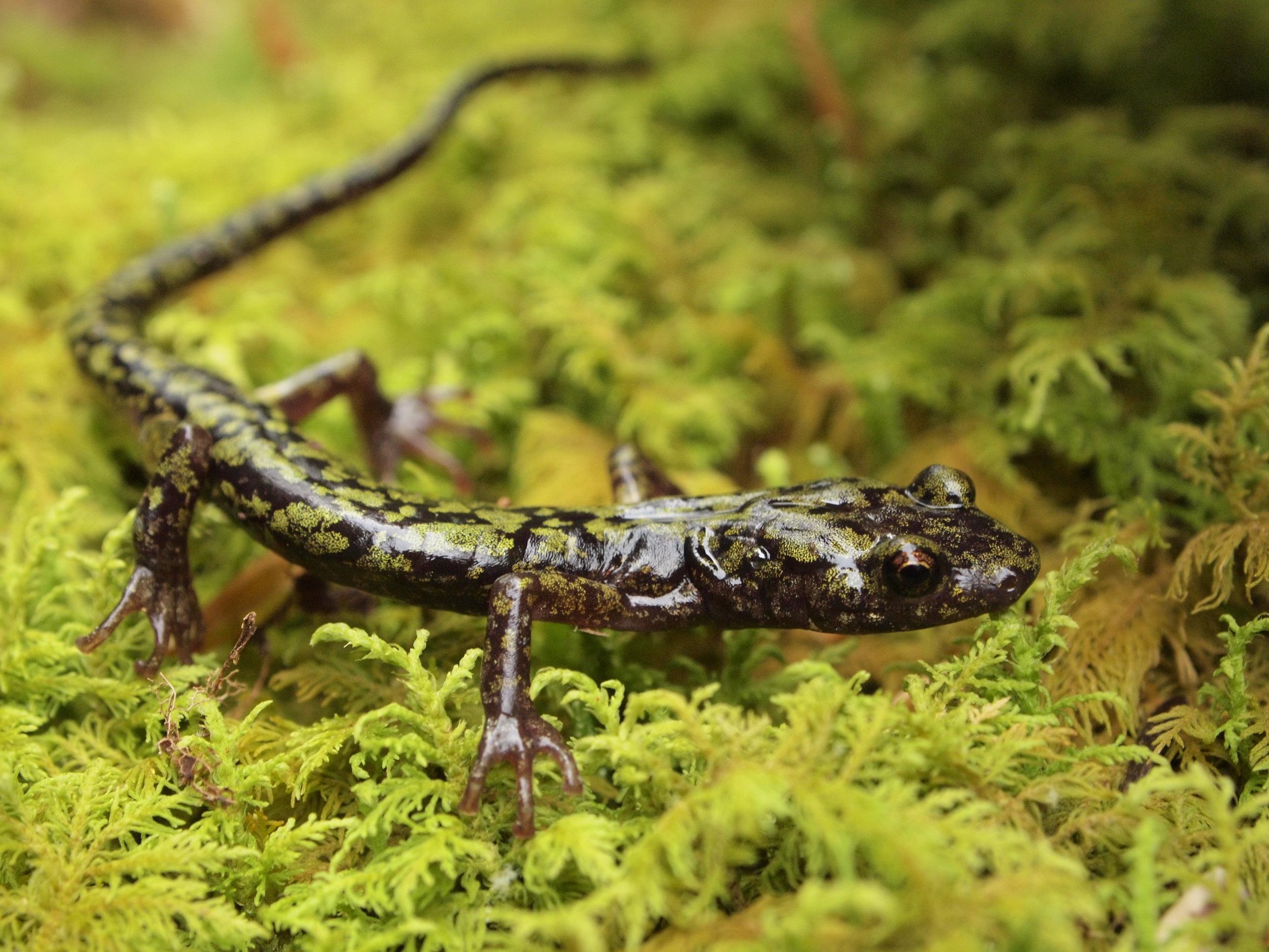 Green salamander ( Aneides aeneus )