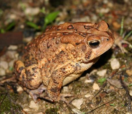 American toad ( Anaxyrus americanus )
