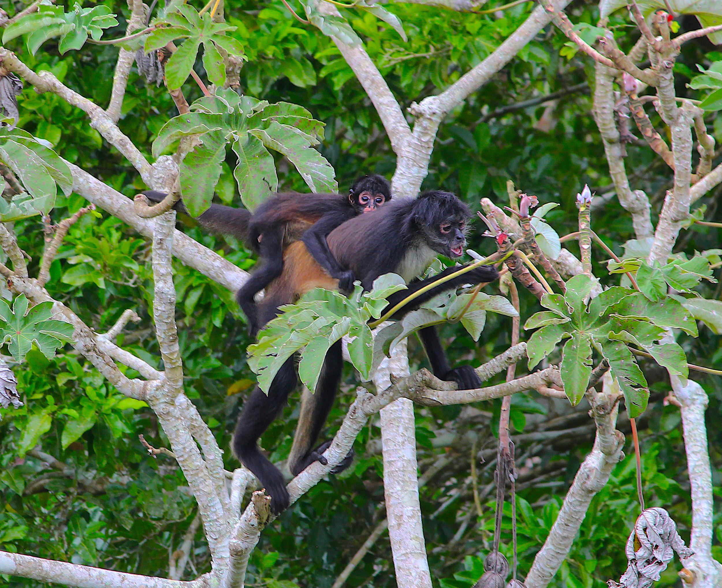 Flores Baby Monkey best.jpg
