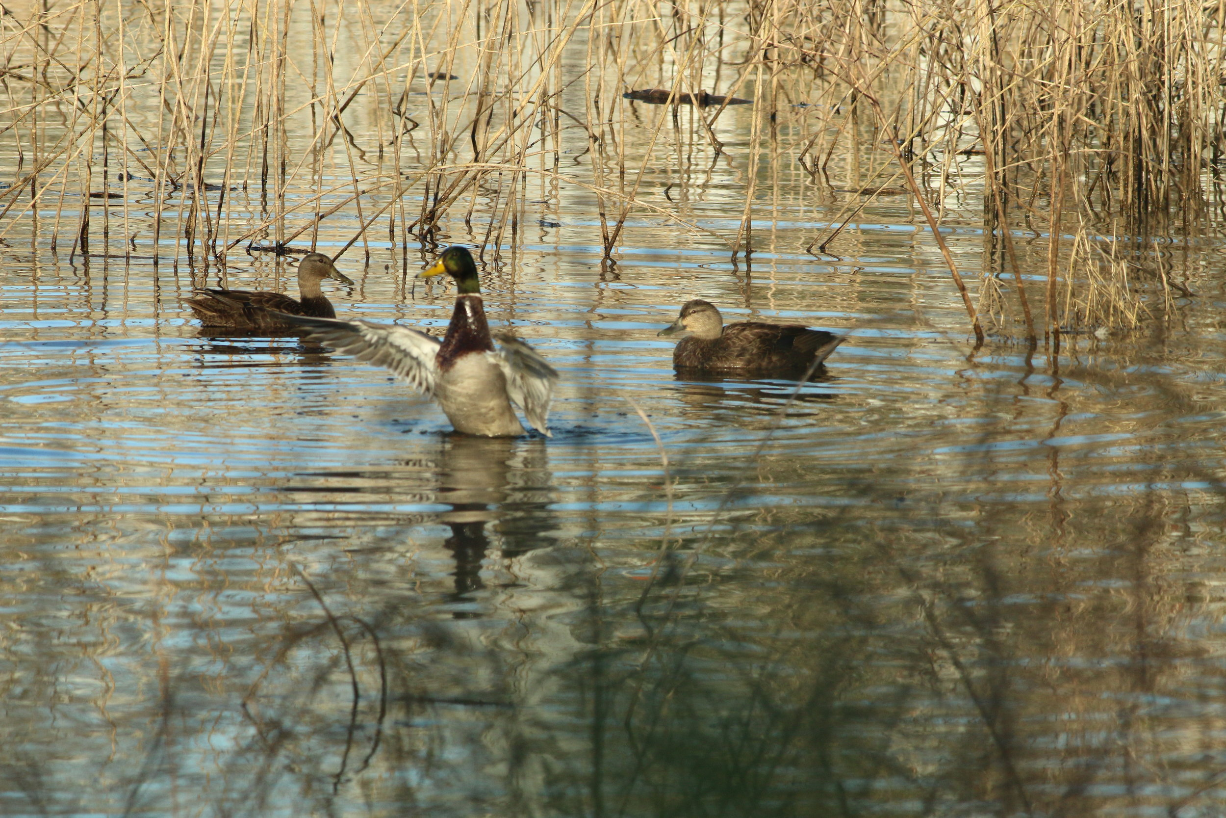 Mallards in the Tennessee River