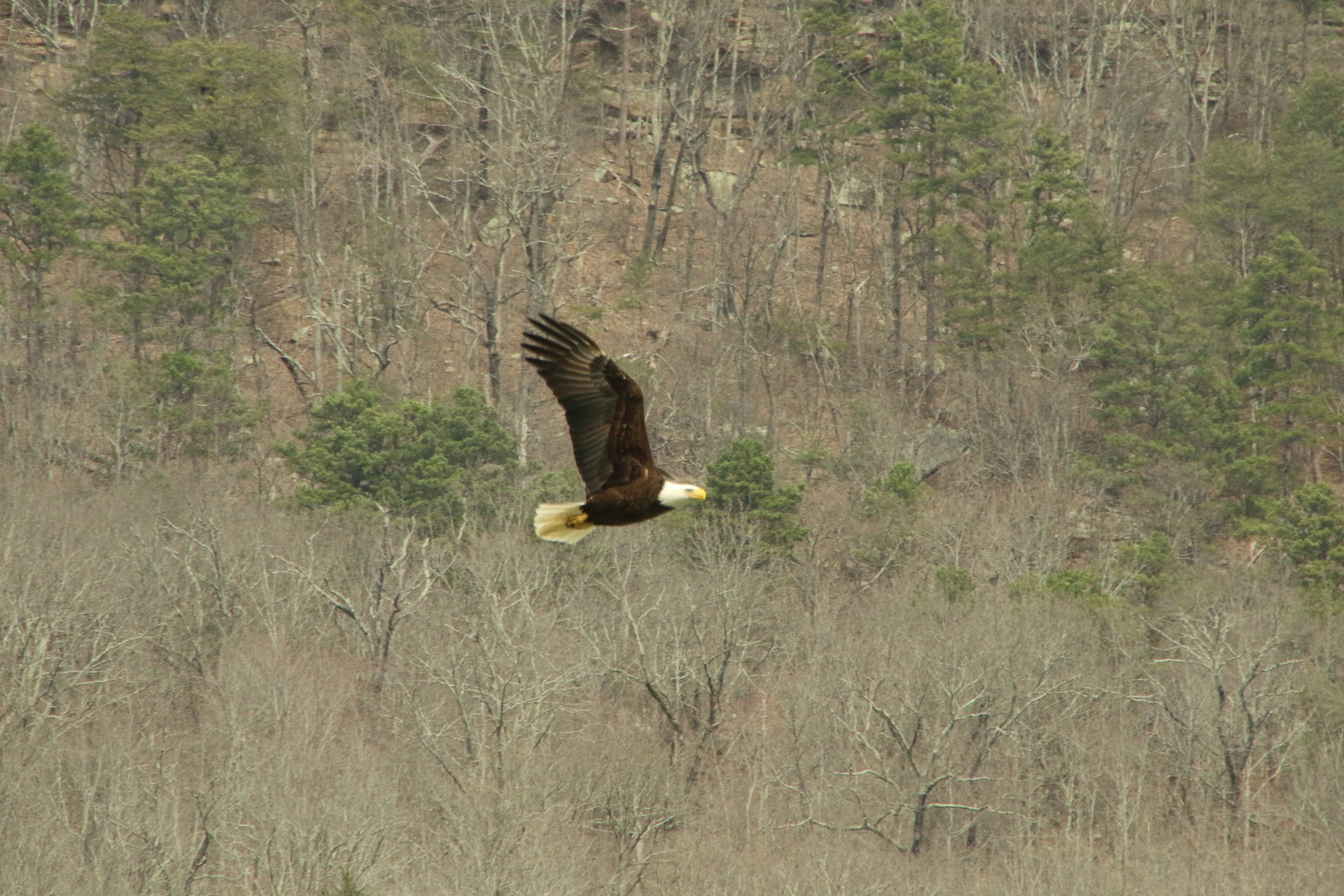 A Bald Eagle flying past Wiliam's Island