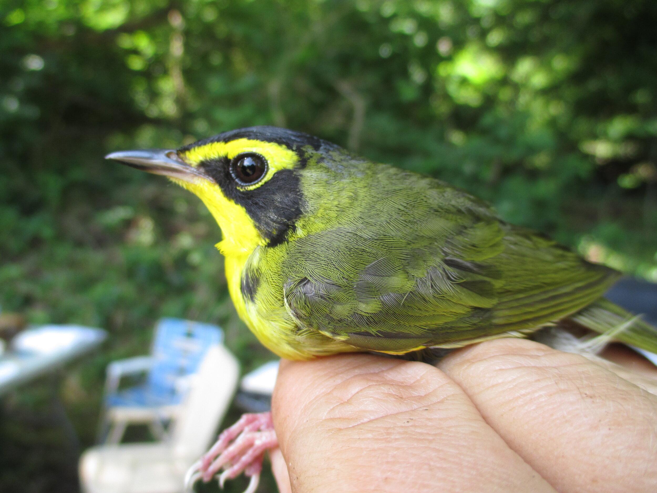 Kentucky Warbler.JPG