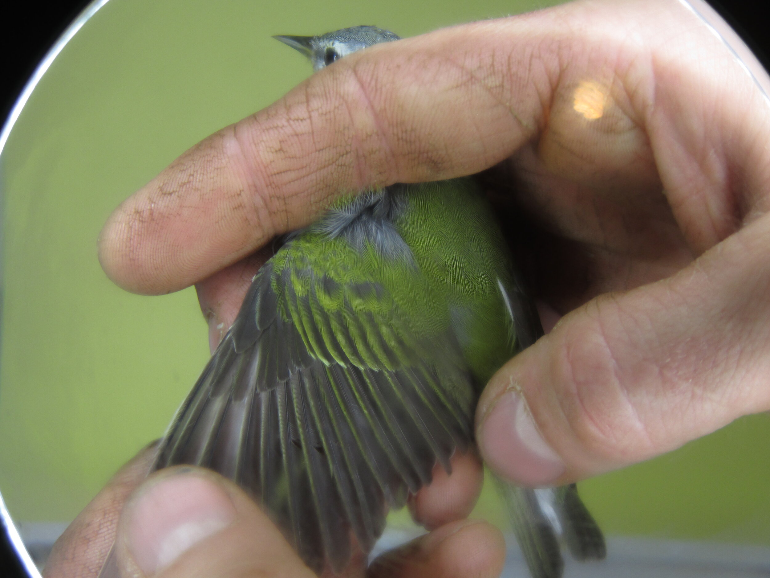 Looking for molt limits on a Tennessee Warbler.jpg