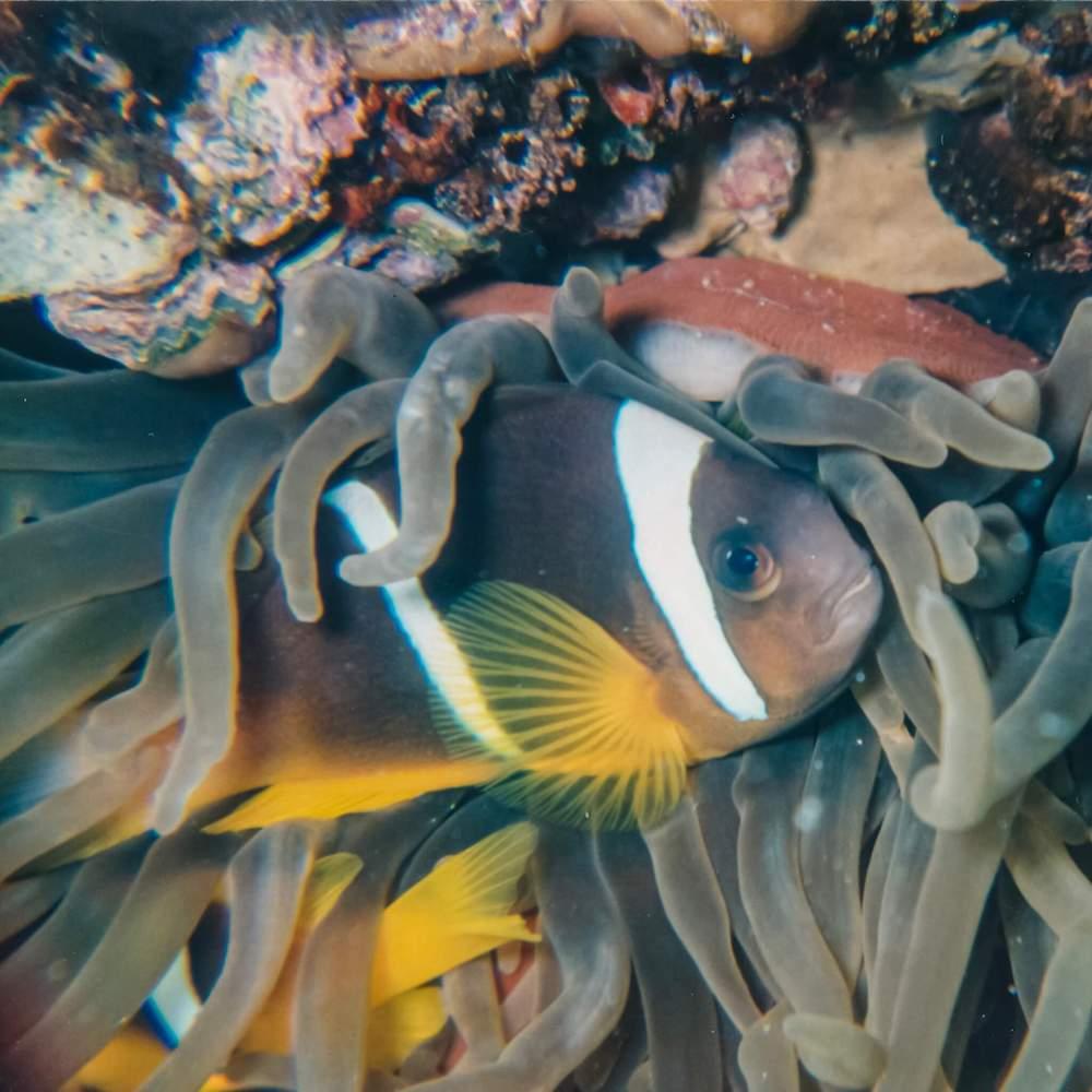 Clownfish cuddling with Anemone