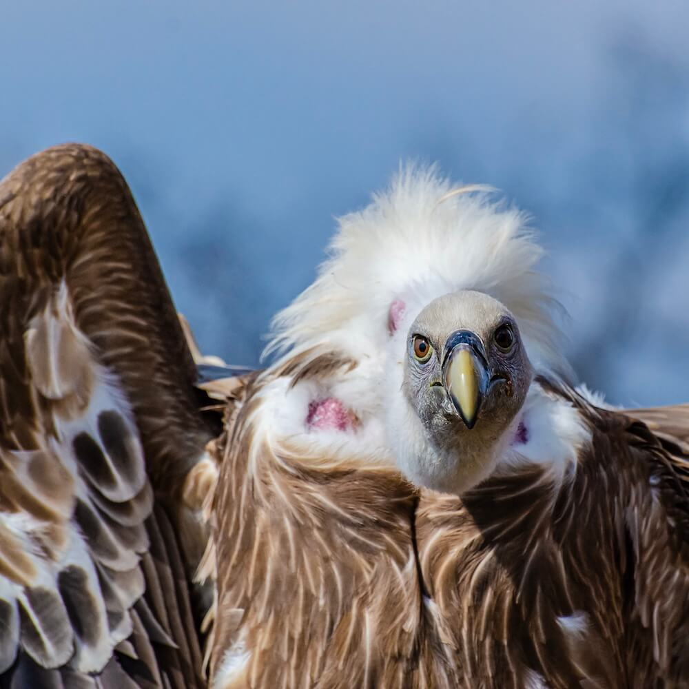 A griffon vulture waiting for you