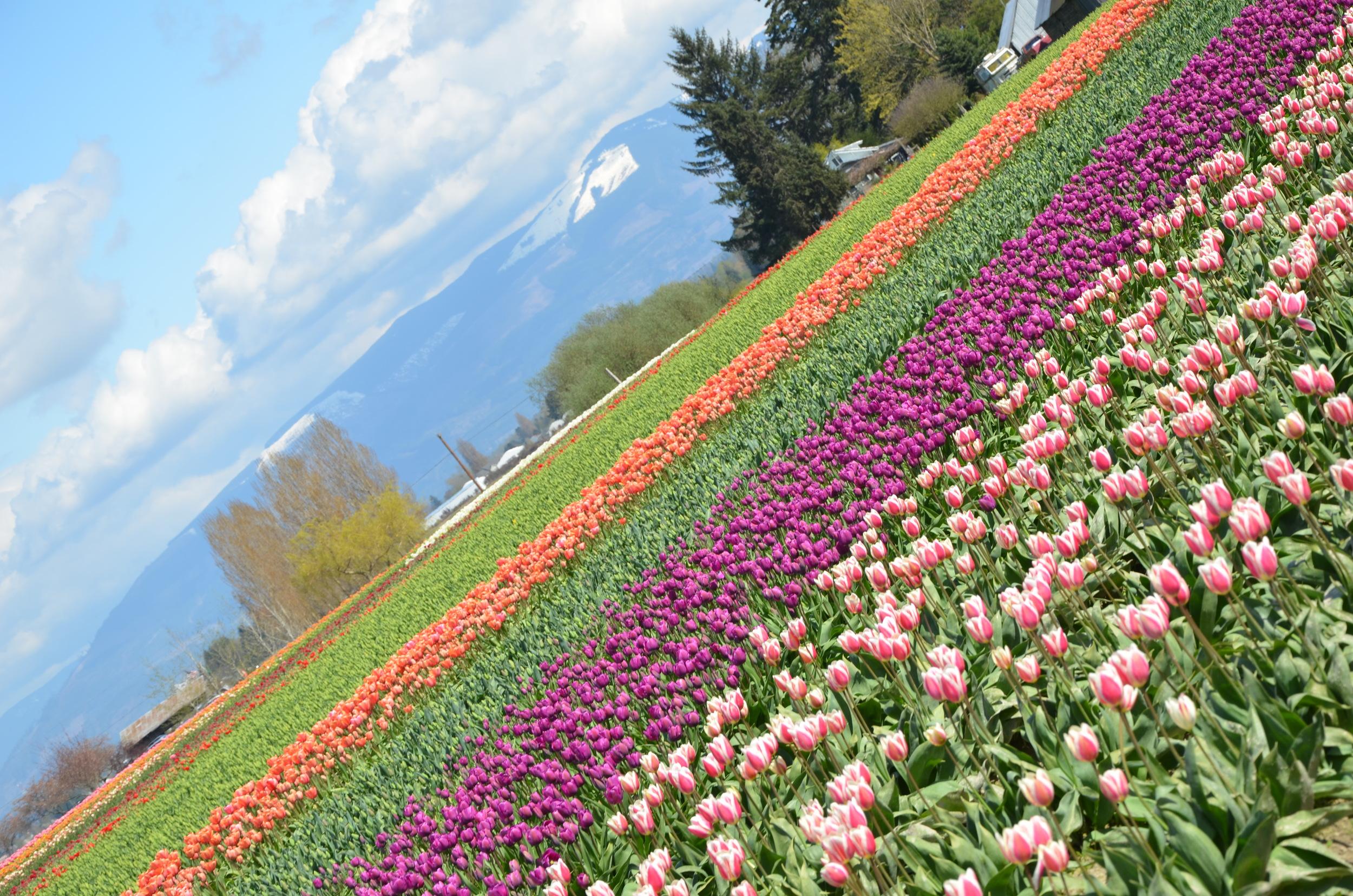 Tulips 241.JPG