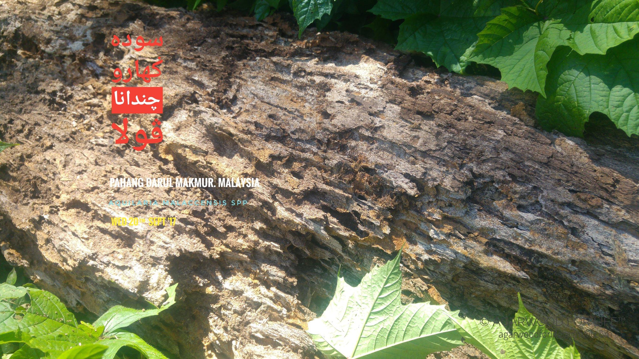 Fallen Aquilaria Tree