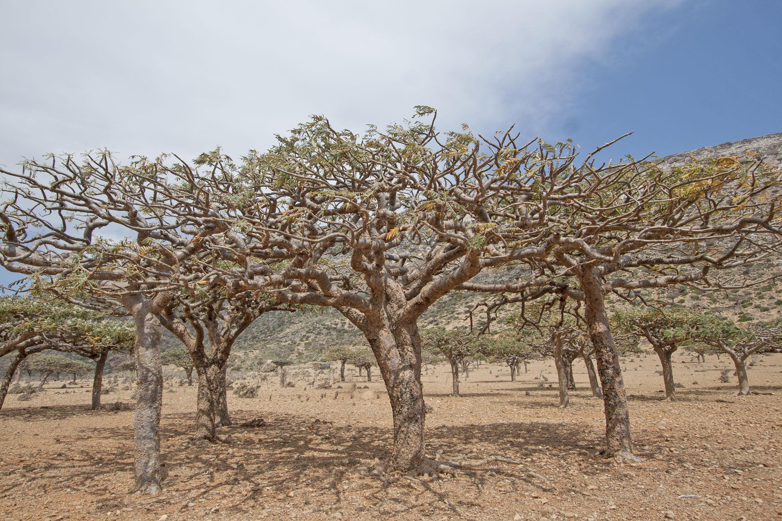Frankincense trees in somalia