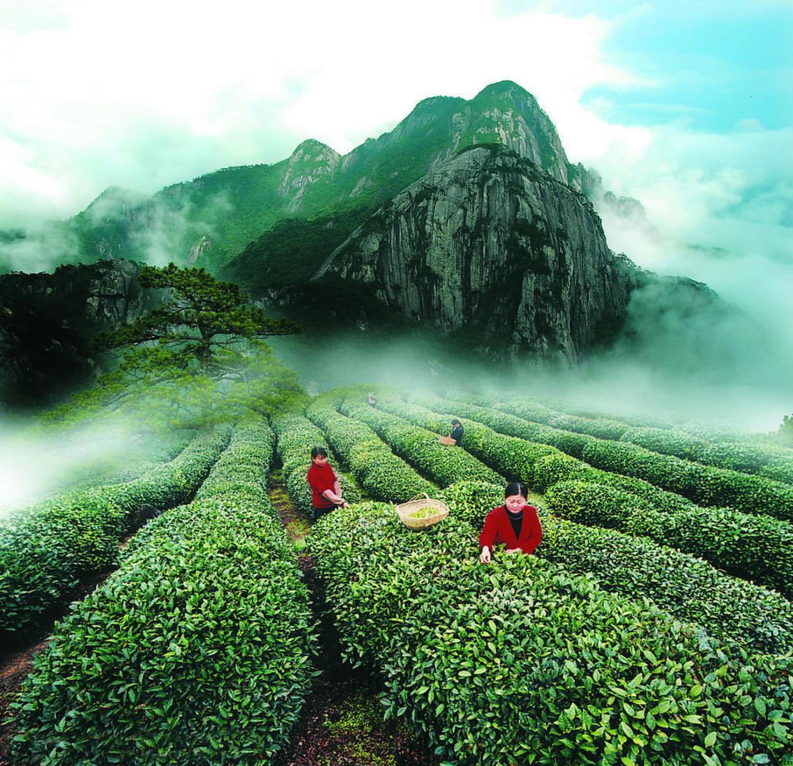 Gathering Tea in the Wuyi Mountains, Fujian Province