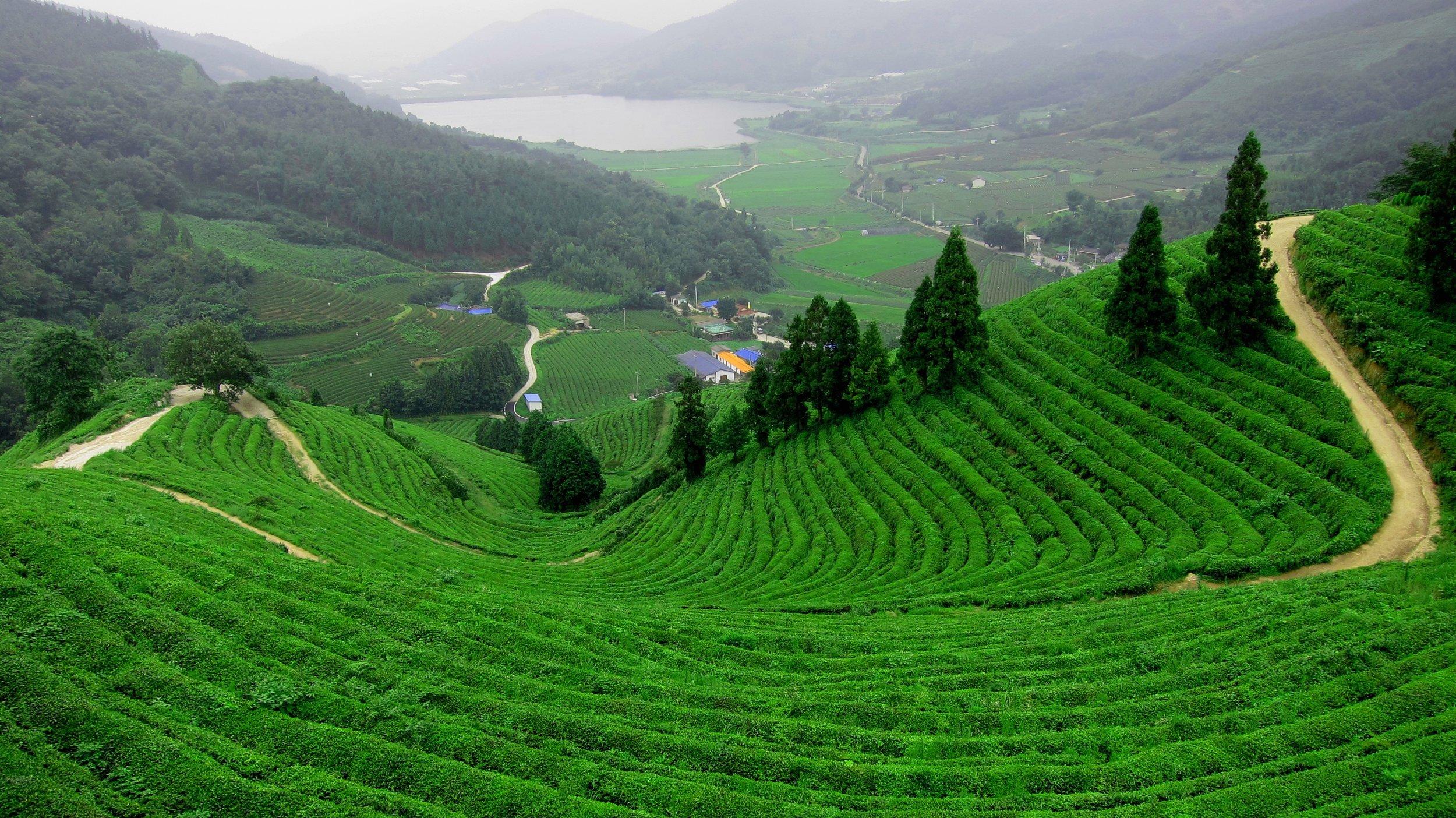 Dragon Well Tea Fields, Zhejiang Province