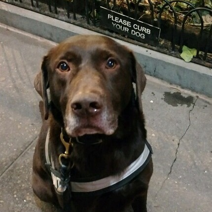 Levi is thrilled to be working a night in the Big City. 🚦🚏🗽🚕🐾 #levi #chocolatelabrador #nyc #mainedogs