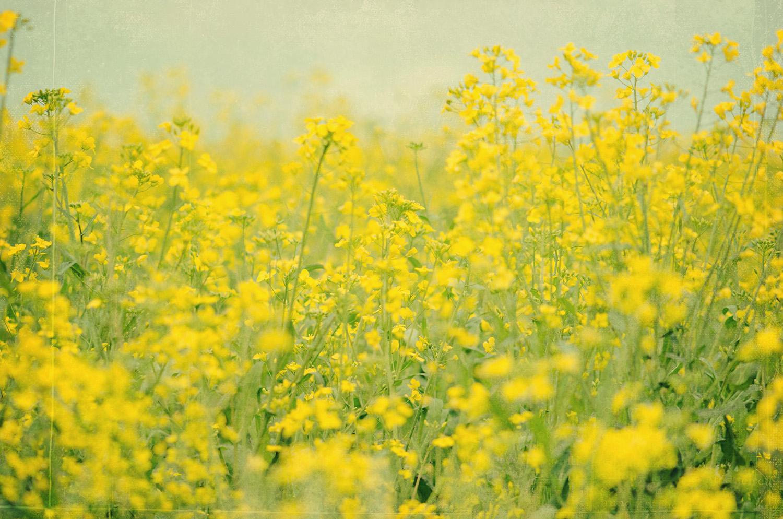 nelougrace_fields_of_gold.jpg