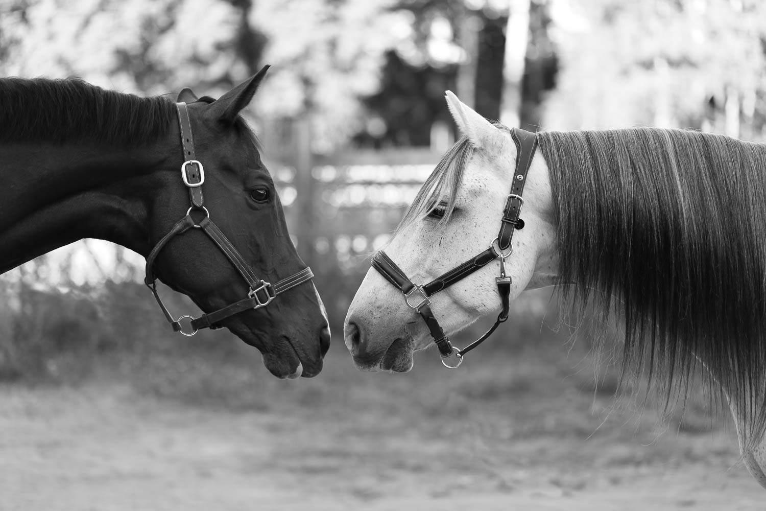 ottb and azteca horses at double H stables in stillwater