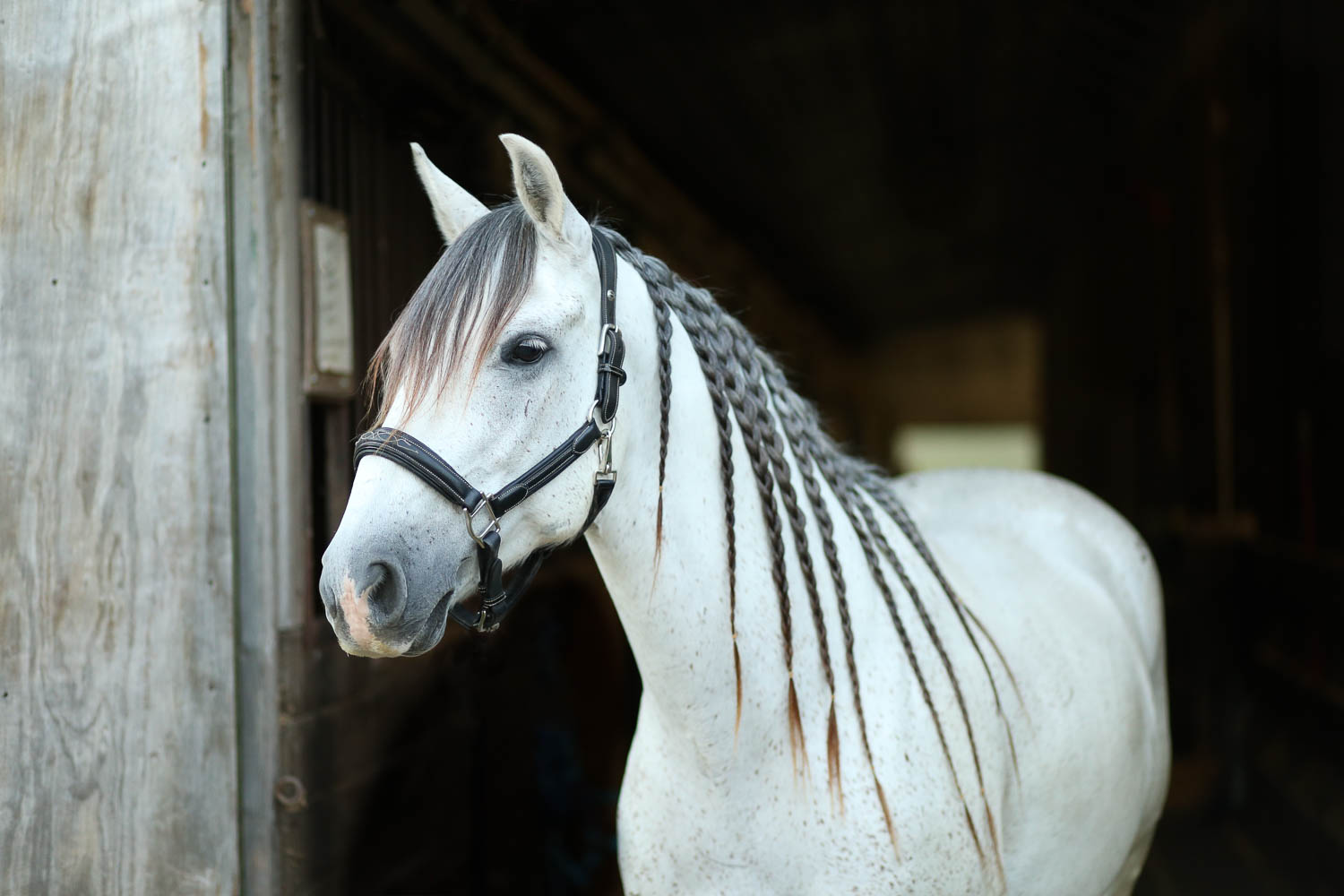 azteca horse braided mane at double H stables in stillwater minnesota