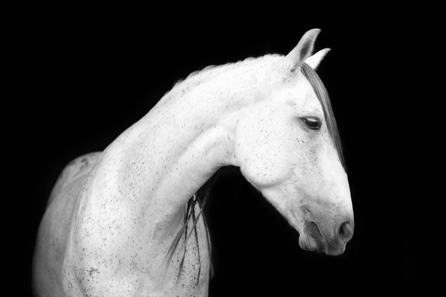 azteca horse portrait at double H stables in stillwater minnesota