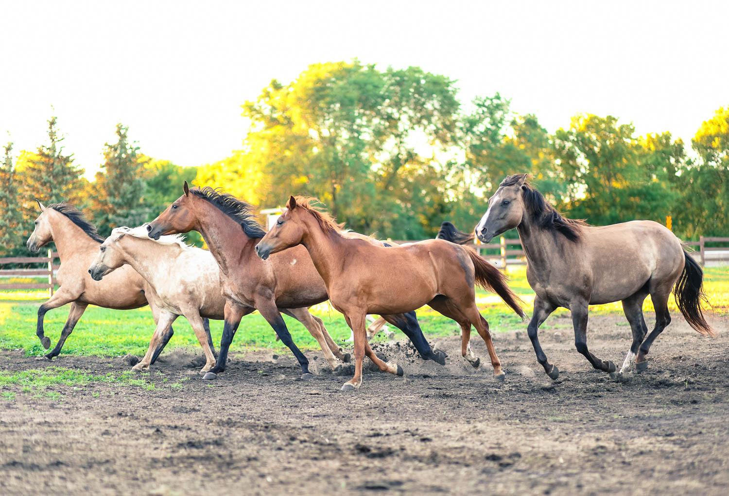 Horse photography Herd of horses running in pasture.