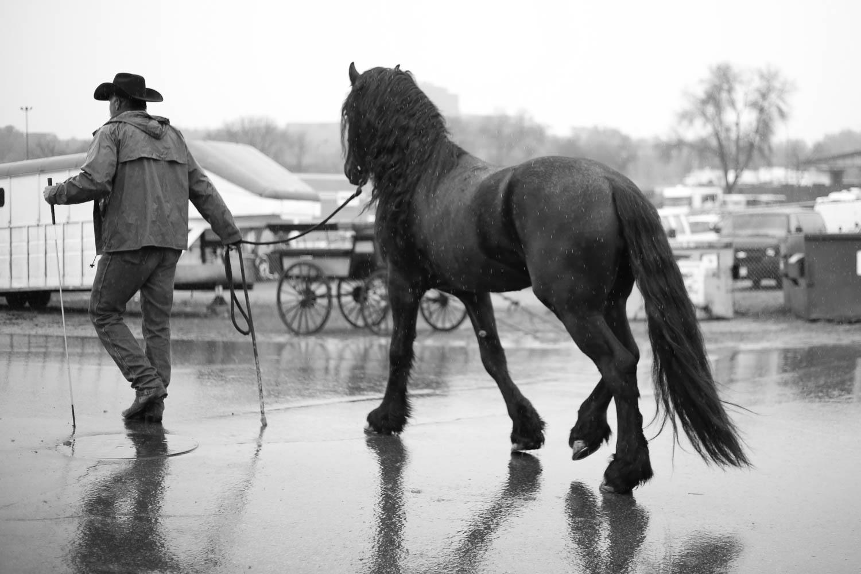 black beauty Friesian horse in rain at minnesota state fair
